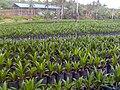 Tawau Oil Palm Nursery.jpg