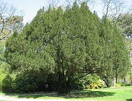 Oude venijnboom in Jardin du Pré-Catelan in Parijs