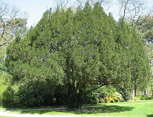 Taxus baccata01 by Line1