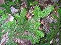 Taxus canadensis 9 (5097490379).jpg