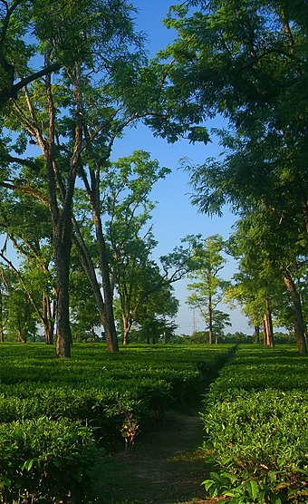 A tea garden in Assam: tea is grown at elevations near sea level, giving it a malty sweetness and an earthy flavor, as opposed to the more floral aroma of highland (e.g. Darjeeling, Taiwanese) teas TeaGardenOfAssam.jpg