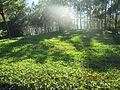Tea garden -Munnar ,Kerala.jpg