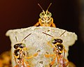 Tetragonisca stingless bees (2532997274).jpg