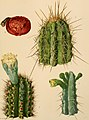 The Cactaceae - descriptions and illustrations of plants of the cactus family (1919) (14596404100).jpg