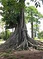 The Nakayima tree 04.jpg