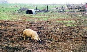 Pig farm, Iowa, 1994