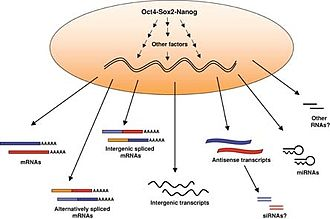Embryonic stem cell - The transcriptome of embryonic stem cells