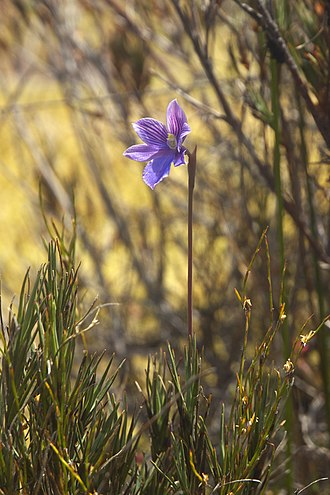 Thelymitra - Image: Thelymitra cyanea LC0261