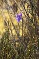 Thelymitra cyanea LC0261.jpg