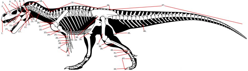 Theropod skeleton labelled