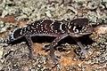 Thick-tailed Gecko (Underwoodisaurus milii) (8637629470).jpg