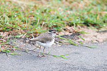 Three-banded Plover 2321728278.jpg