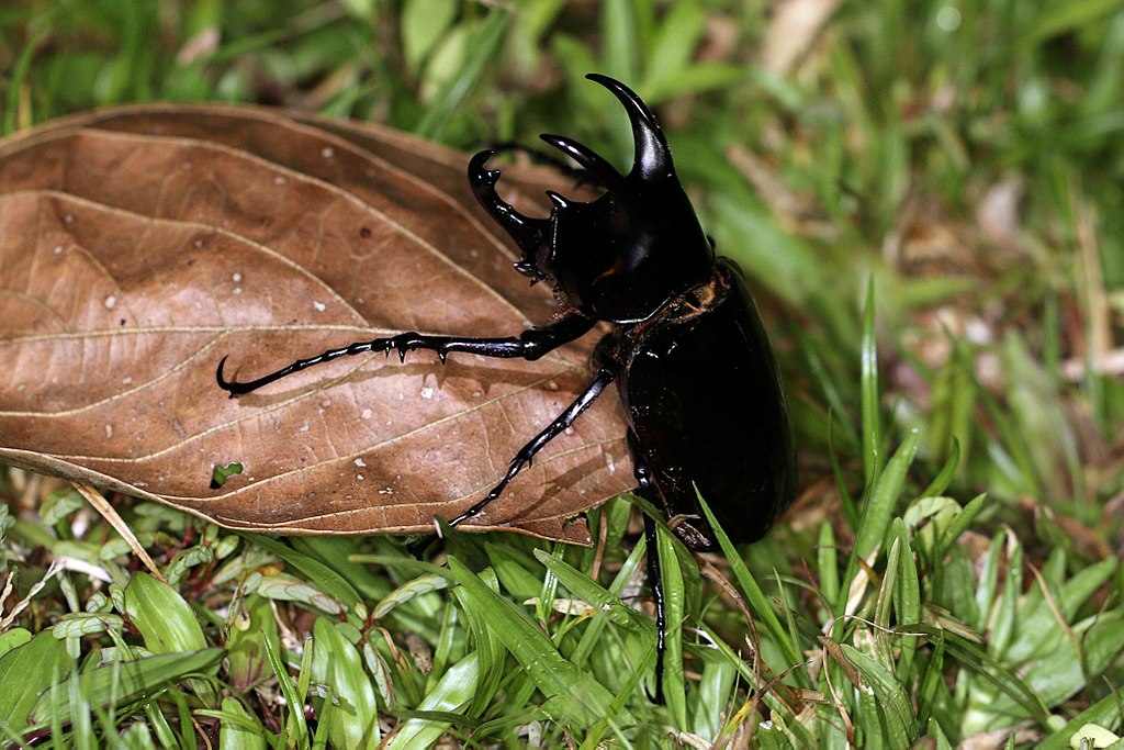 Three-horned rhinoceros beetle (Chalcosoma moellenkampi) male