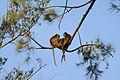 Three macaques - Bako National Park - Sarawak - Borneo - Malaysia - panoramio.jpg