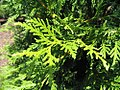 Thuja Green Giant 1zz.jpg