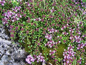 Thymus serpyllum - Image: Thymus aa 1