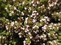 Thymus vulgaris 2020-06-06 9347.jpg
