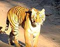 Tiger@Jim Corbett.jpg