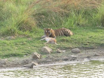 TigerSighting-08-June-Ranthambore.jpg