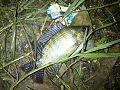 Tilapia of Bangladesh.jpg