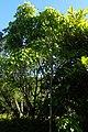 Tilia oliveri kz02.jpg