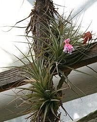 Tillandsia tenuifolia 06.jpg