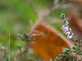 Tiny heather (10493434695).jpg