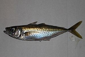 Blue jack mackerel - Image: Trachurus picturatus