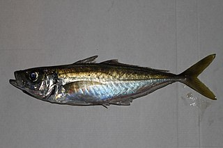 Blue jack mackerel species of fish