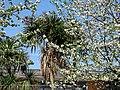 Trachycarpus fortunei Chusan palm and prunus blossom Tottenham London 1.jpg