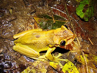 Jordan's casque-headed tree frog - Image: Trachycephalus jordani Ecuador
