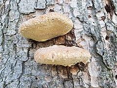Tree fungi in Val Vigezzo - Toceno VCO, Piedmont, Italy 2020-09-12.jpg
