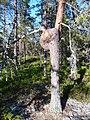 Tree with a twist.jpg
