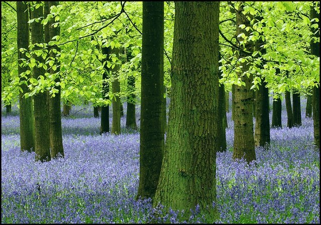 Trees and Bluebells, Dockey Wood, Ashridge - geograph.org.uk - 1516118