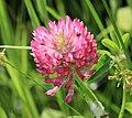 Trifolium pratense (Red clover) - Flickr - S. Rae.jpg