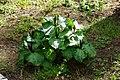 Trillium angustipetalum clump.jpg