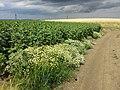 Tripleurospermum inodorum sl16.jpg