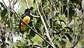 Trogón Cabeza Negra - panoramio.jpg