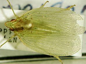 Tropiduchidae undet.