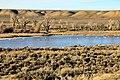 Trumpeter Swans wintering on the Green River on Seedskadee NWR (12818308534).jpg