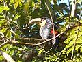 Tucano-de-bico-verde Ramphastos dicoloru).jpg