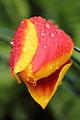 Tulip (7076225981).jpg