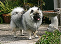 Tuppence the Keeshond.jpg