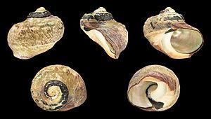 Turbo sarmaticus - A shell of Turbo sarmaticus