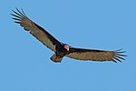 Turkey vulture (Cathartes aura) in flight.JPG