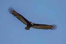 Turkey vulture (Cathartes aura) in flight.JPG