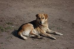Собака — Википедия