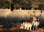 Two deer at Richmond Park, London.jpg