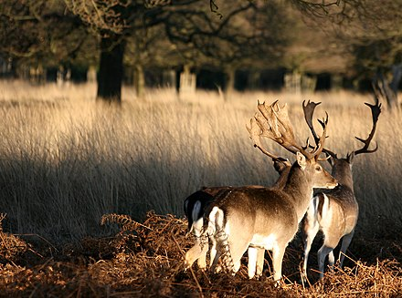 Fallow deer in Richmond Park Two deer at Richmond Park, London.jpg