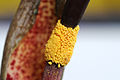 Typhonium venosum 009.jpg